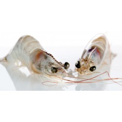 Crevettes Crues Grosses